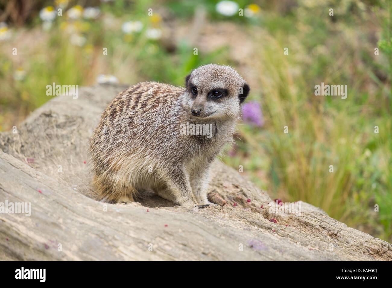 Meercat on Log - Stock Image