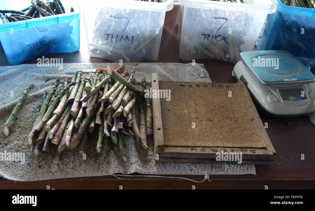 Fine fat English asparagus spears are prepared in bunches ready for sale - Stock Image