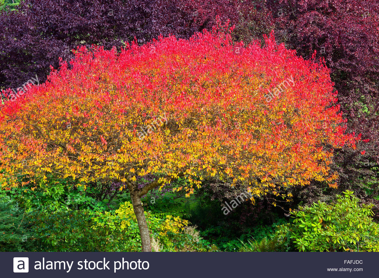A deciduous tree is colored like a rainbow as autumn begins to set in in Snohomish County, Washington. - Stock Image