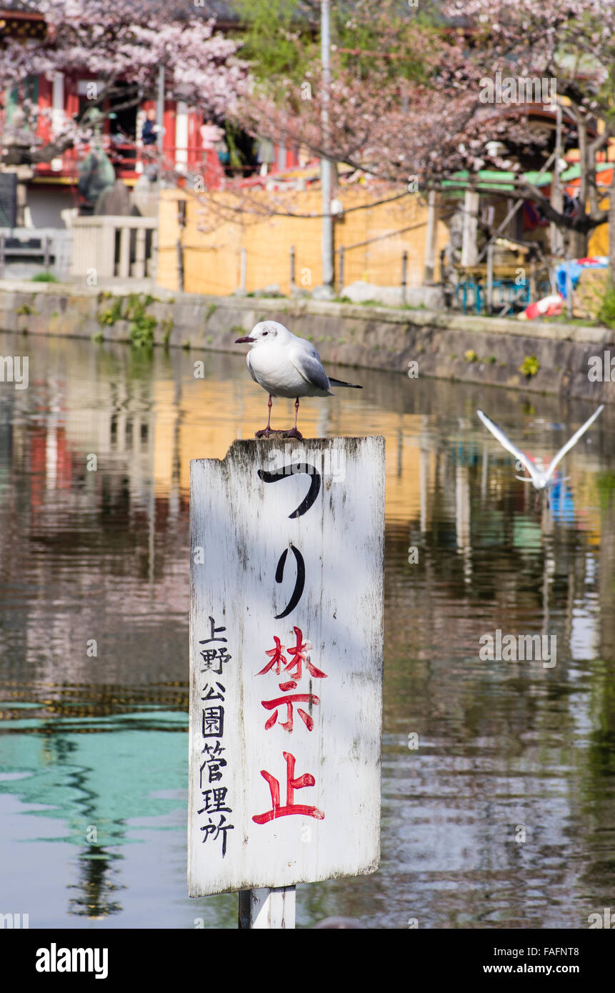 "Seagull sitting on a ""No Fishing"" sign on Shinobazu Pond, Ueno Park, Tokyo with another one in flight. Stock Photo"