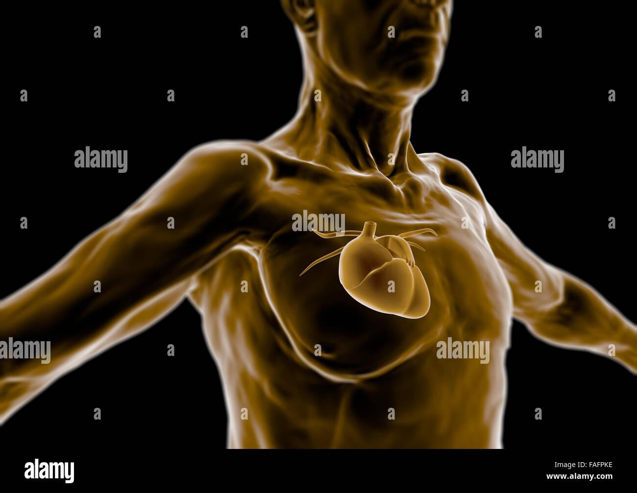 3d Human Body Old Man Elderly Heart Anatomy Radiography Stock