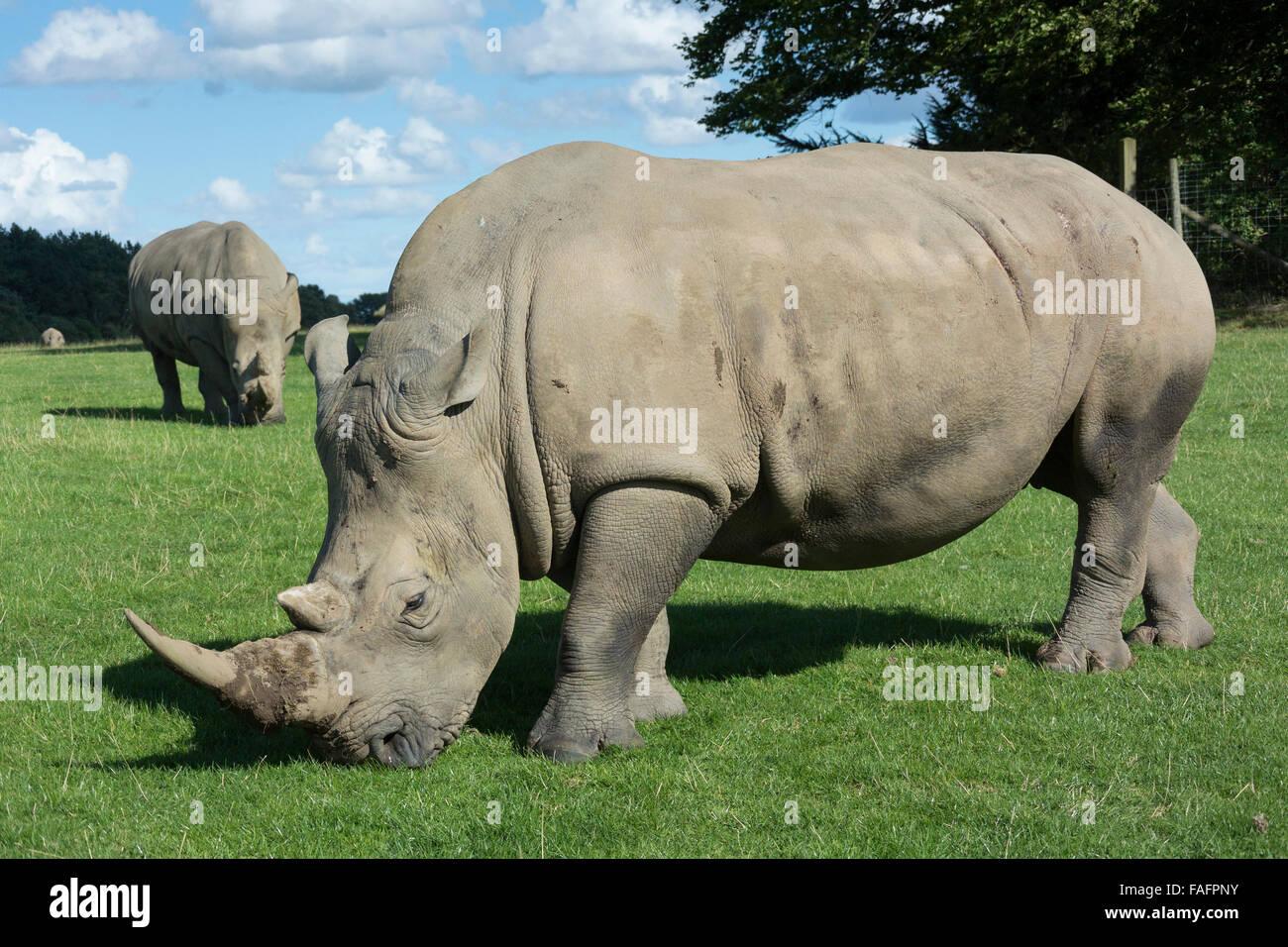 White Rhinoceros roaming in pastures at Knowsley Safari Park, Merseyside, UK. - Stock Image