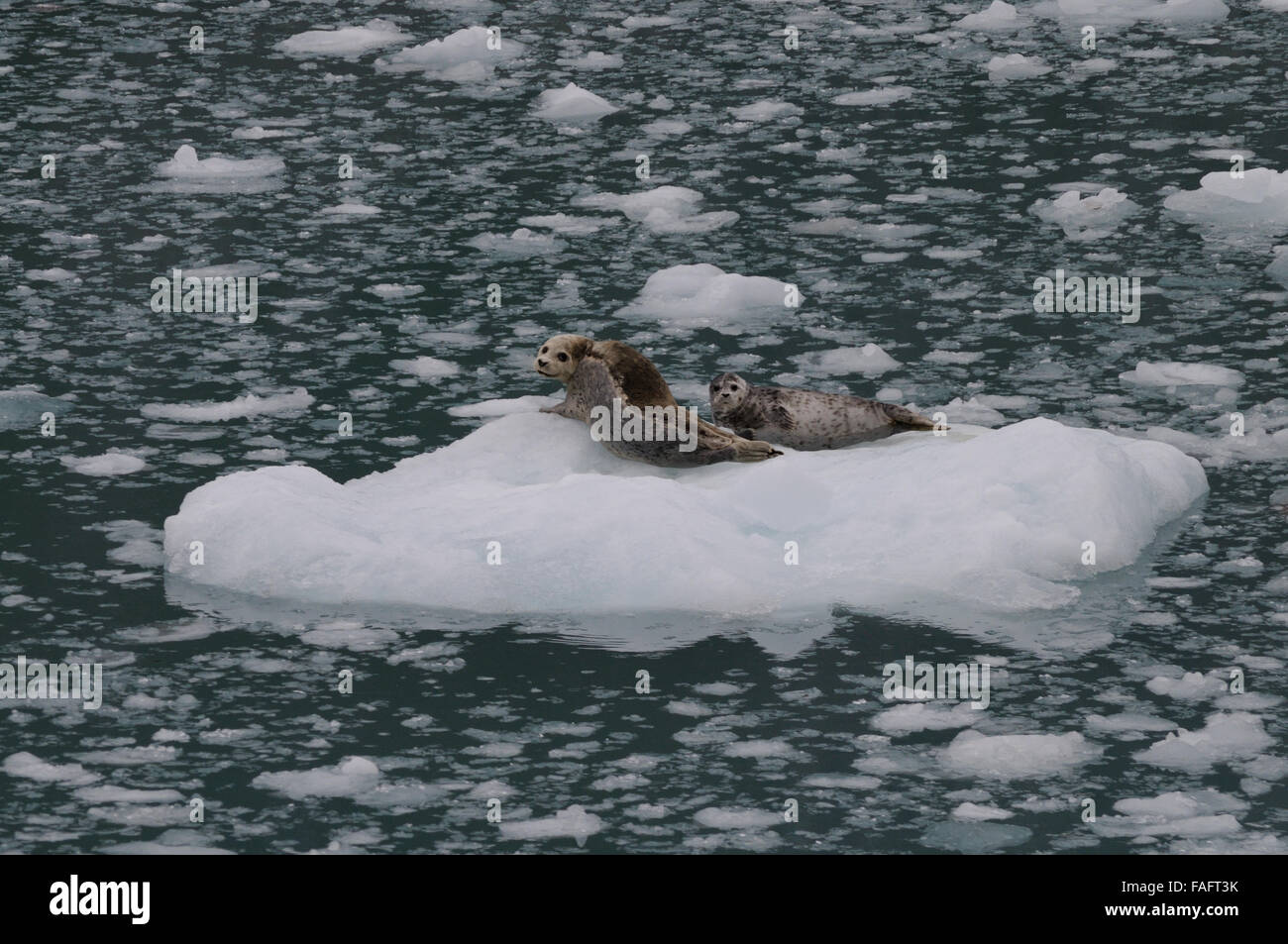 Mother Seal and Her Pup in Kenai Fjords National Park - Stock Image