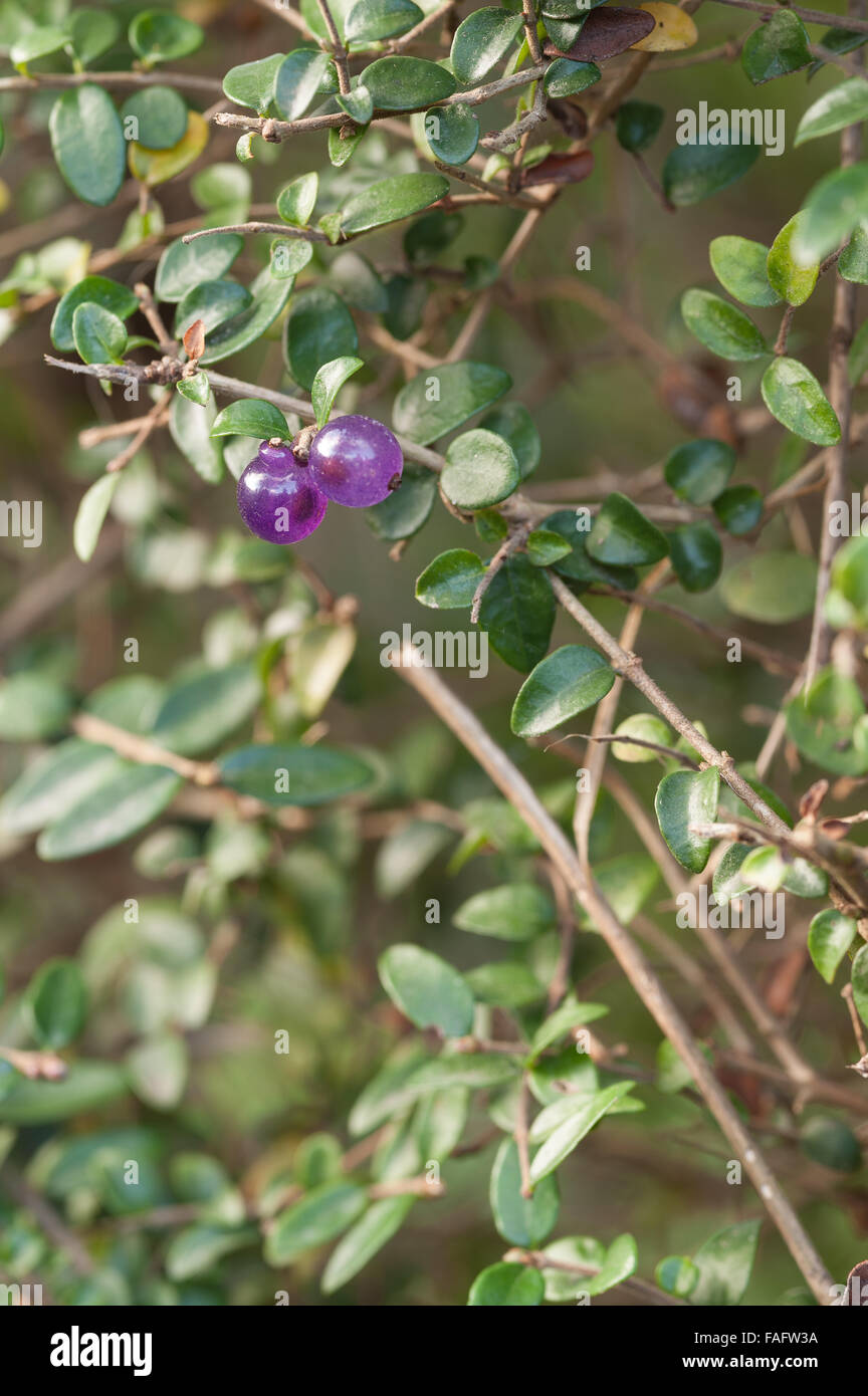 Bright Circular Lilac Purple Berries Of Lonicera Hedge A Small