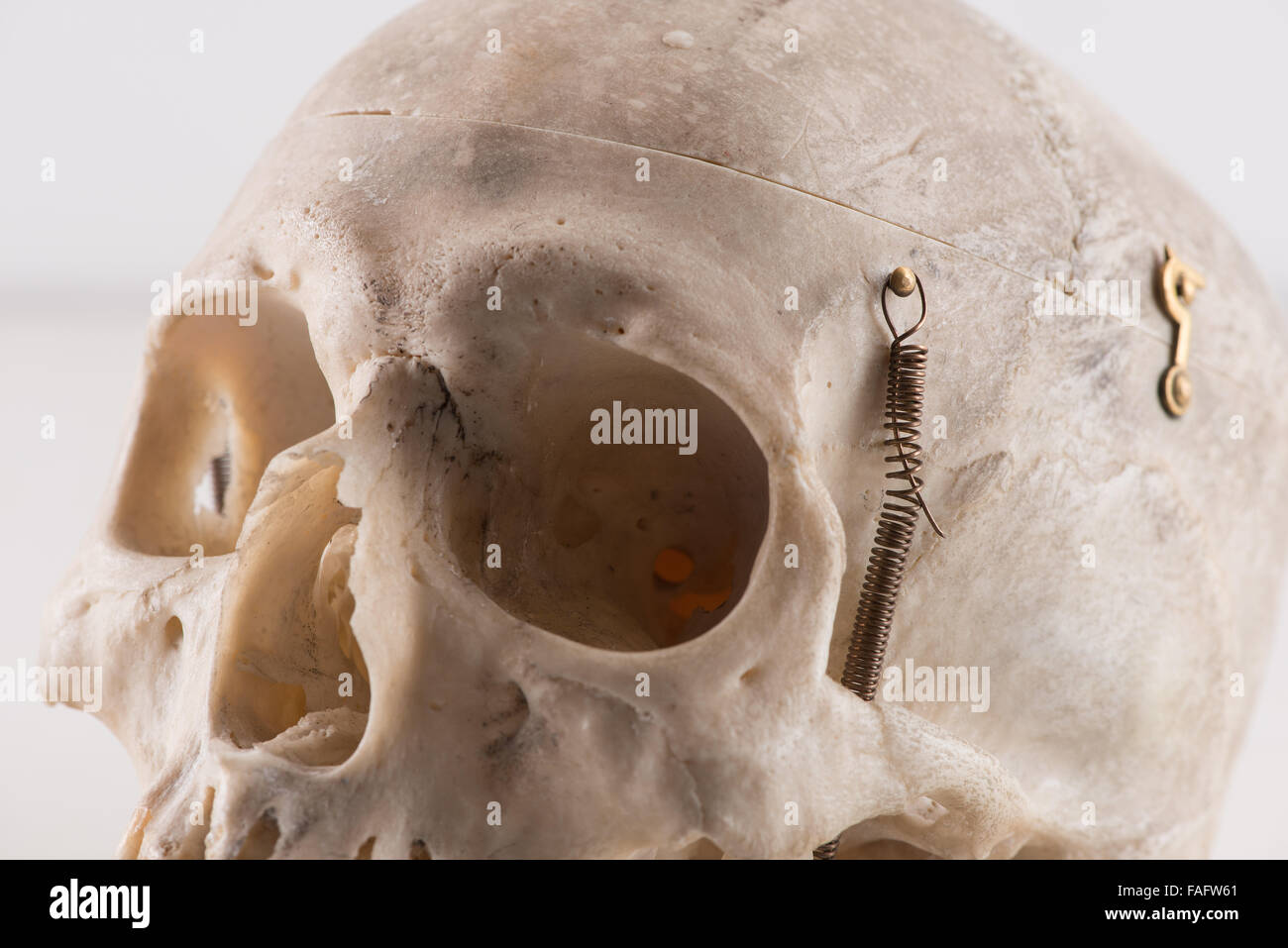 Anatomy And Physiology Of Real Human Skull Cranium For Scientific