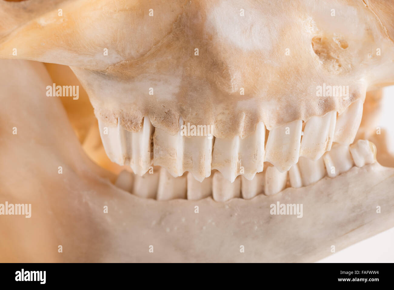 side grin of goat head skull skeleton molar teeth side profile large powerful and scary upsetting premolar and molars - Stock Image