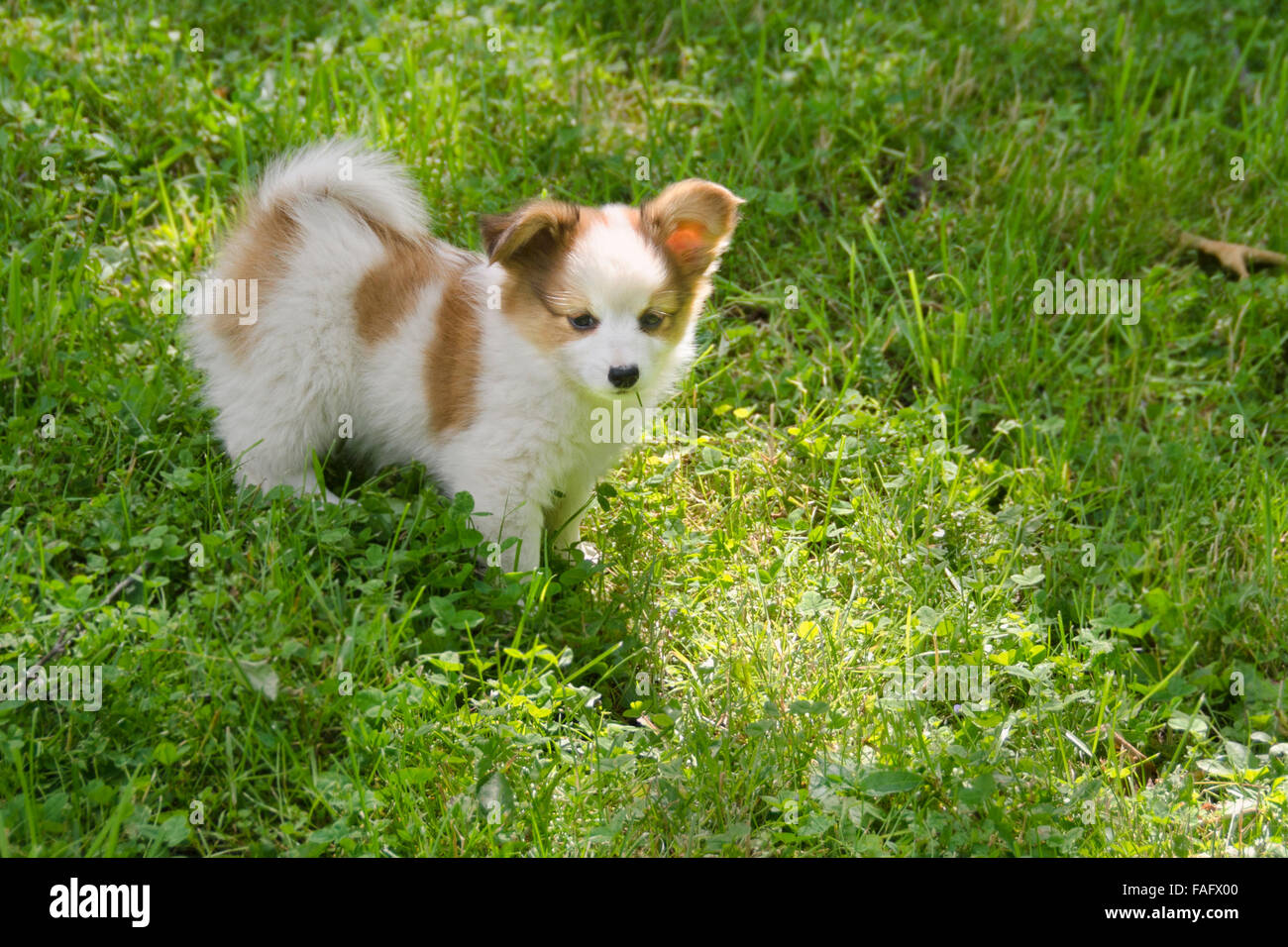 brown and white puppy in the grass - Stock Image