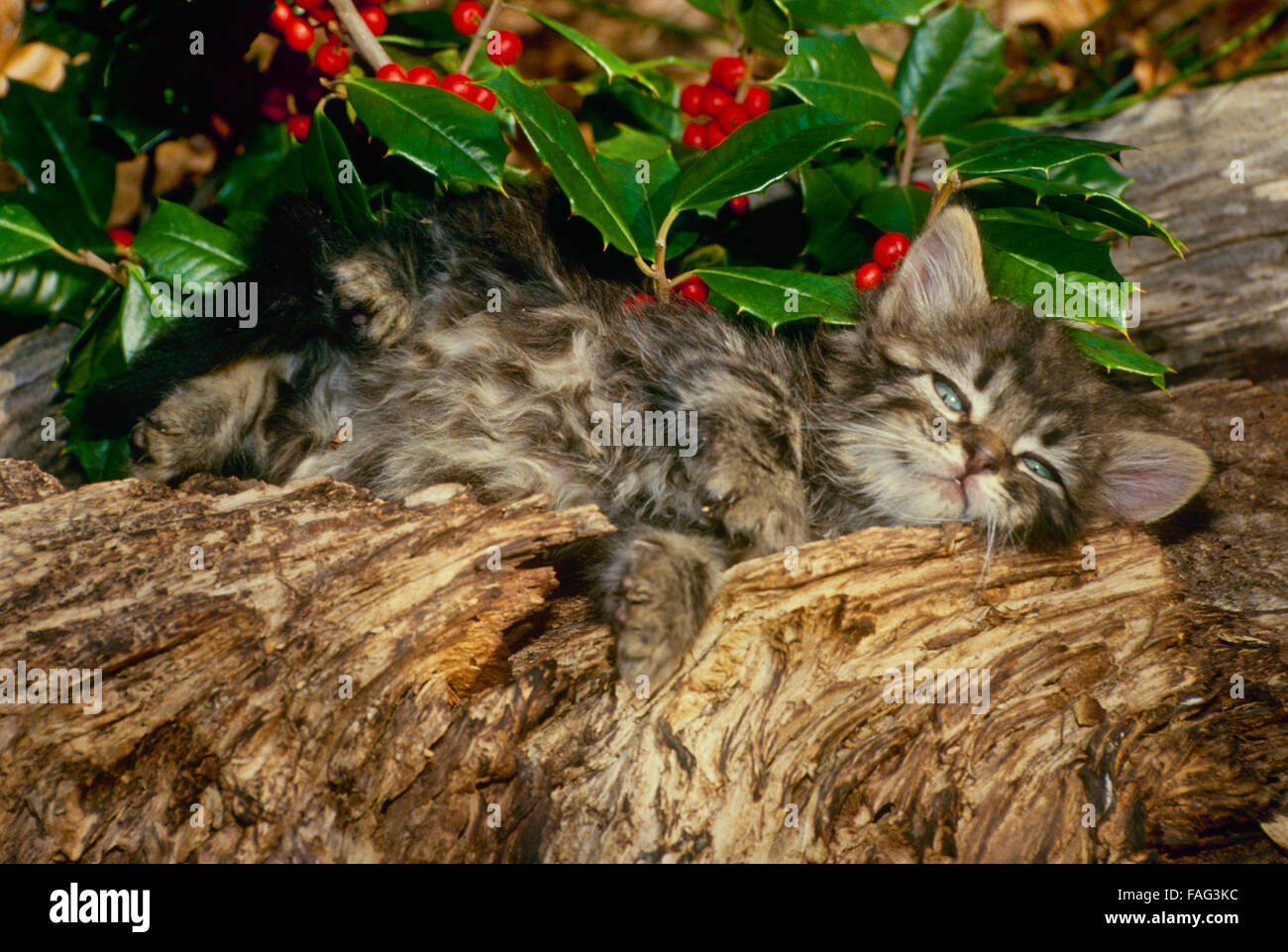 Sleepy tabby kitten (Felis catus) stretches out in garden by American holly bush with bright red berries, Midwest - Stock Image