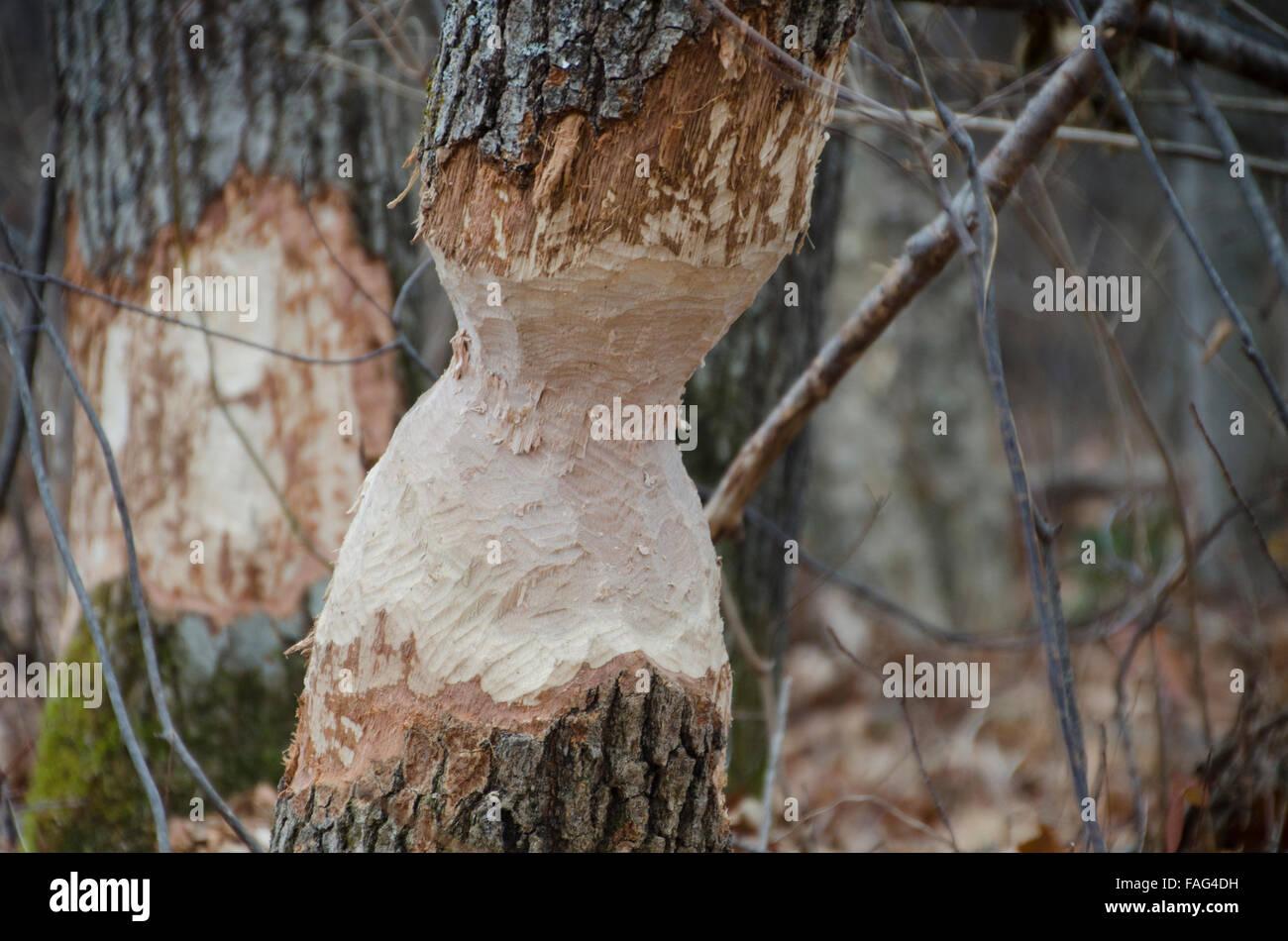 Beaver, Castoridae canadensis, damage to oak tree, Maine, USA Stock Photo