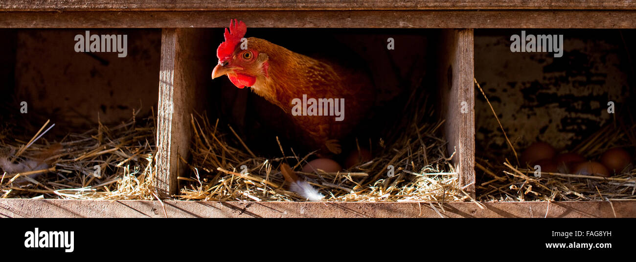 Free range hen roosting in a chicken coup. - Stock Image