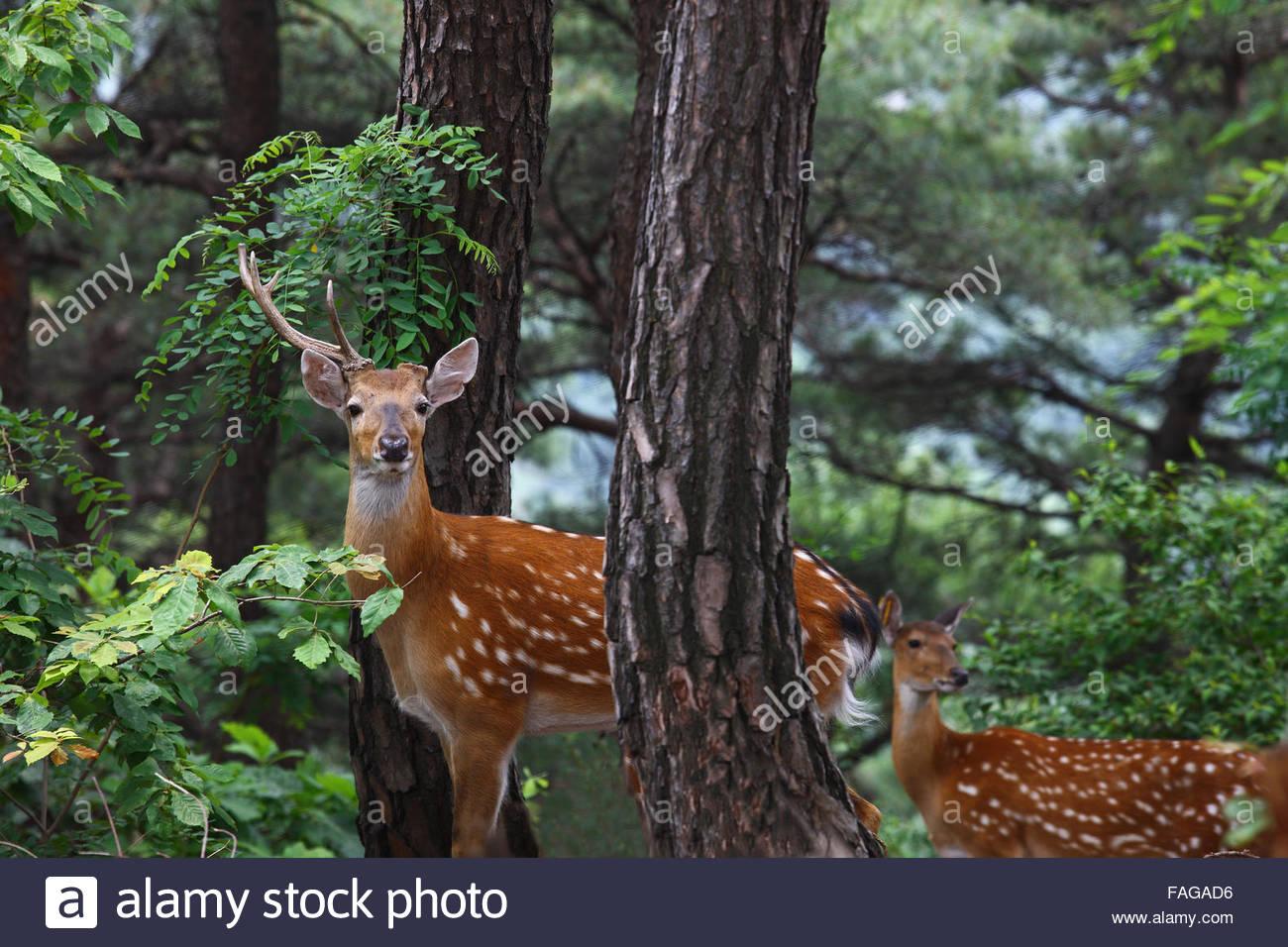 deer in bukaksan mountain - Stock Image