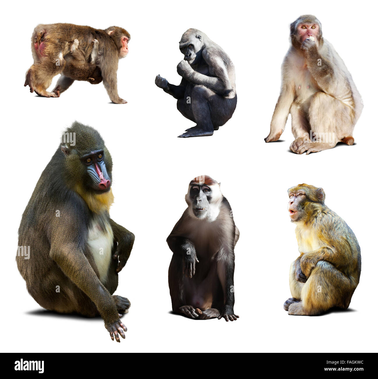Mandrill and other Old World monkeys. Isolated over white background with shade - Stock Image