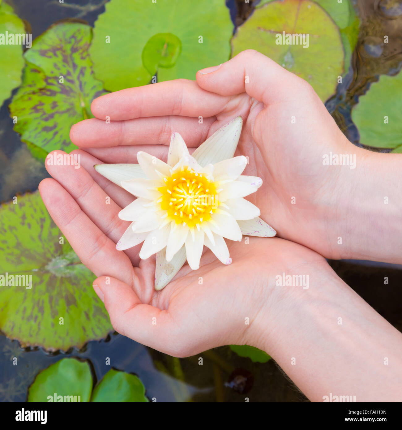 Woman Hands Holding Lotus Flower Stock Photo 92572389 Alamy