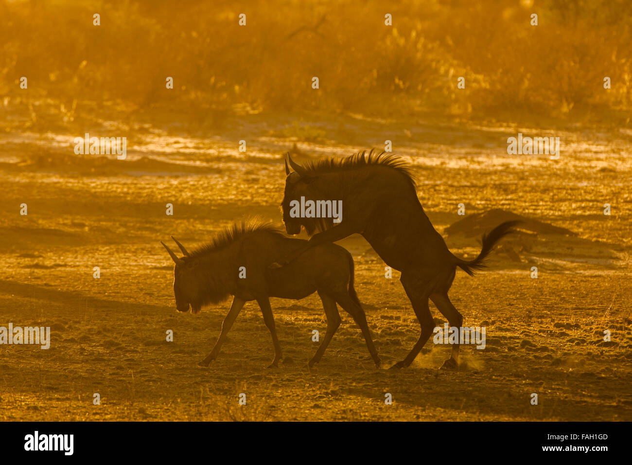 Blue wildebeest (Connochaetes taurinus) mating, morning light, Kgalagadi Transfrontier Park, Northern Cape, South - Stock Image