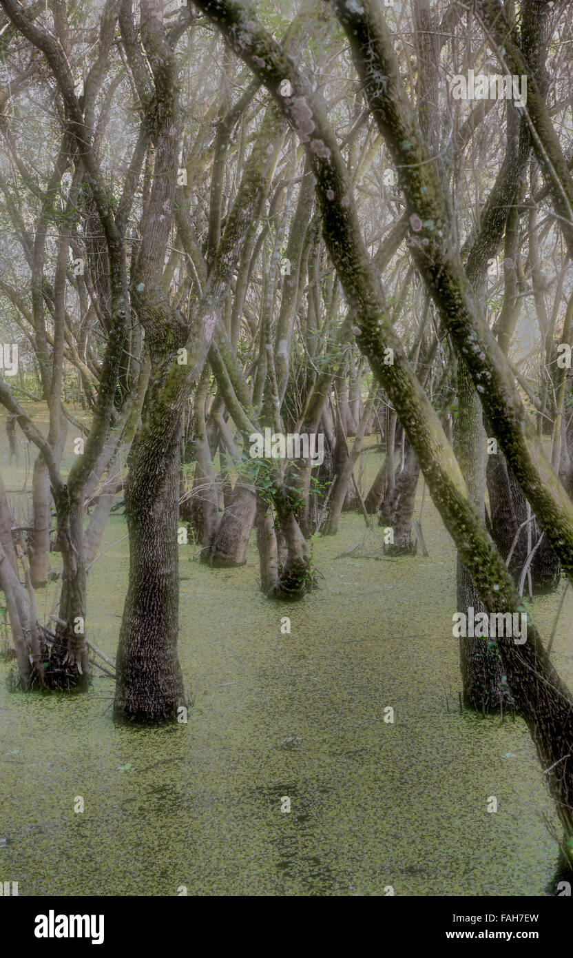 Weird scary looking trees in swamp - Stock Image