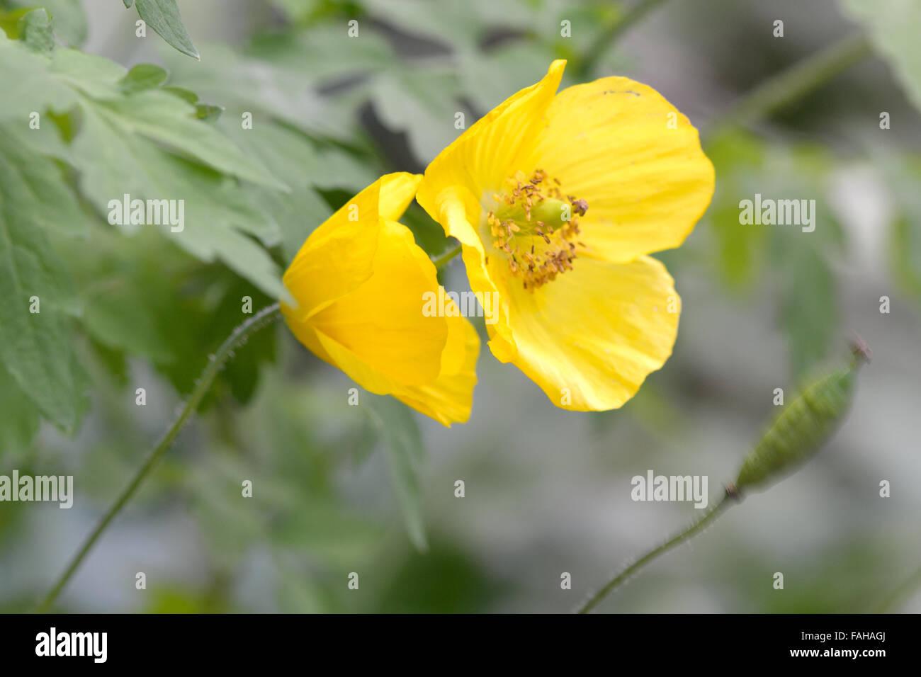 Welsh poppy meconopsis cambrica a wild yellow poppy in flower in welsh poppy meconopsis cambrica a wild yellow poppy in flower in a british woodland mightylinksfo
