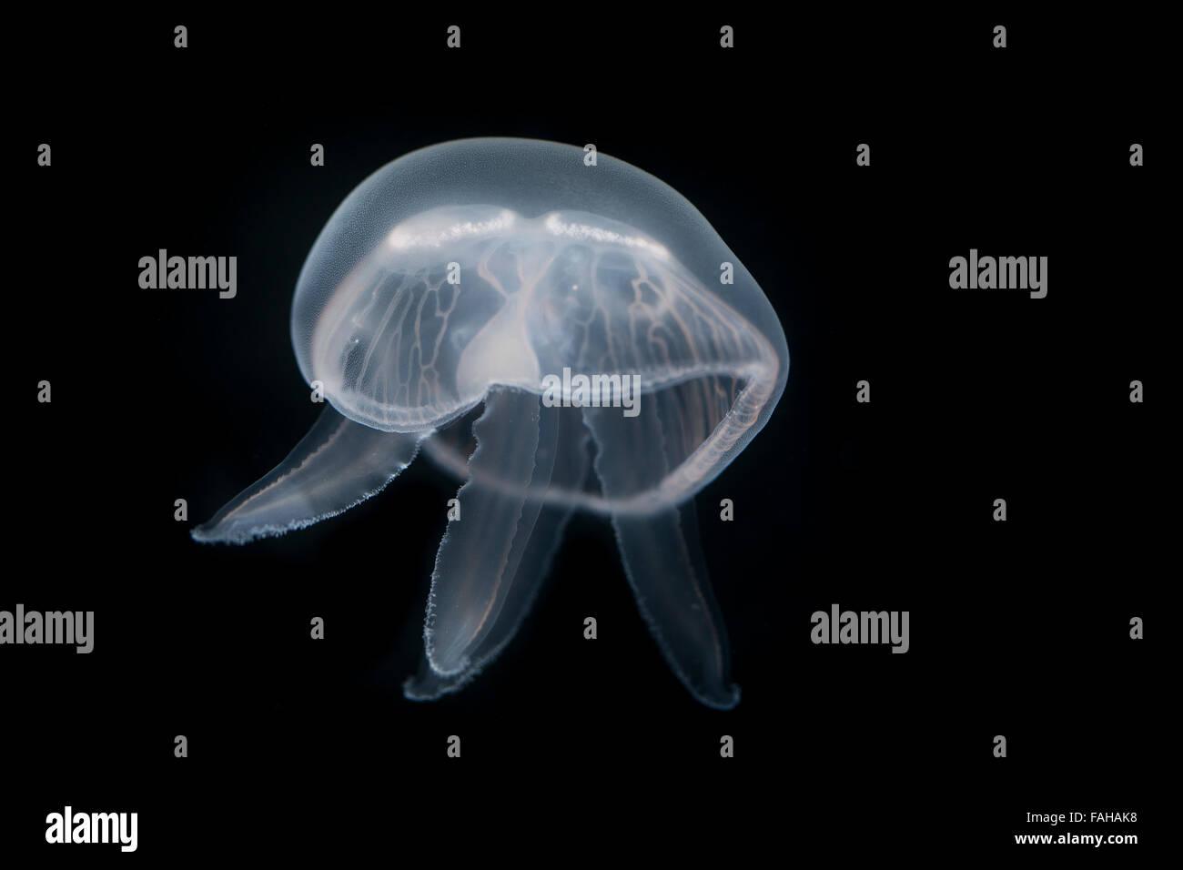 Moon jelly, moon jellyfish, common jellyfish, saucer jelly, Ohrenqualle, Ohren-Qualle, Qualle, Quallen, Aurelia - Stock Image