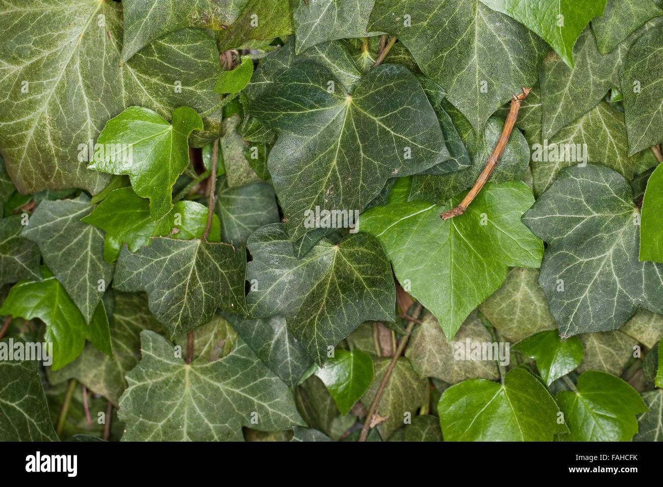 Swallow-tailed moth, caterpillar, Nachtschwalbenschwanz, Nacht-Schwalbenschwanz, Holunderspanner, Raupe, Ourapteryx - Stock Image