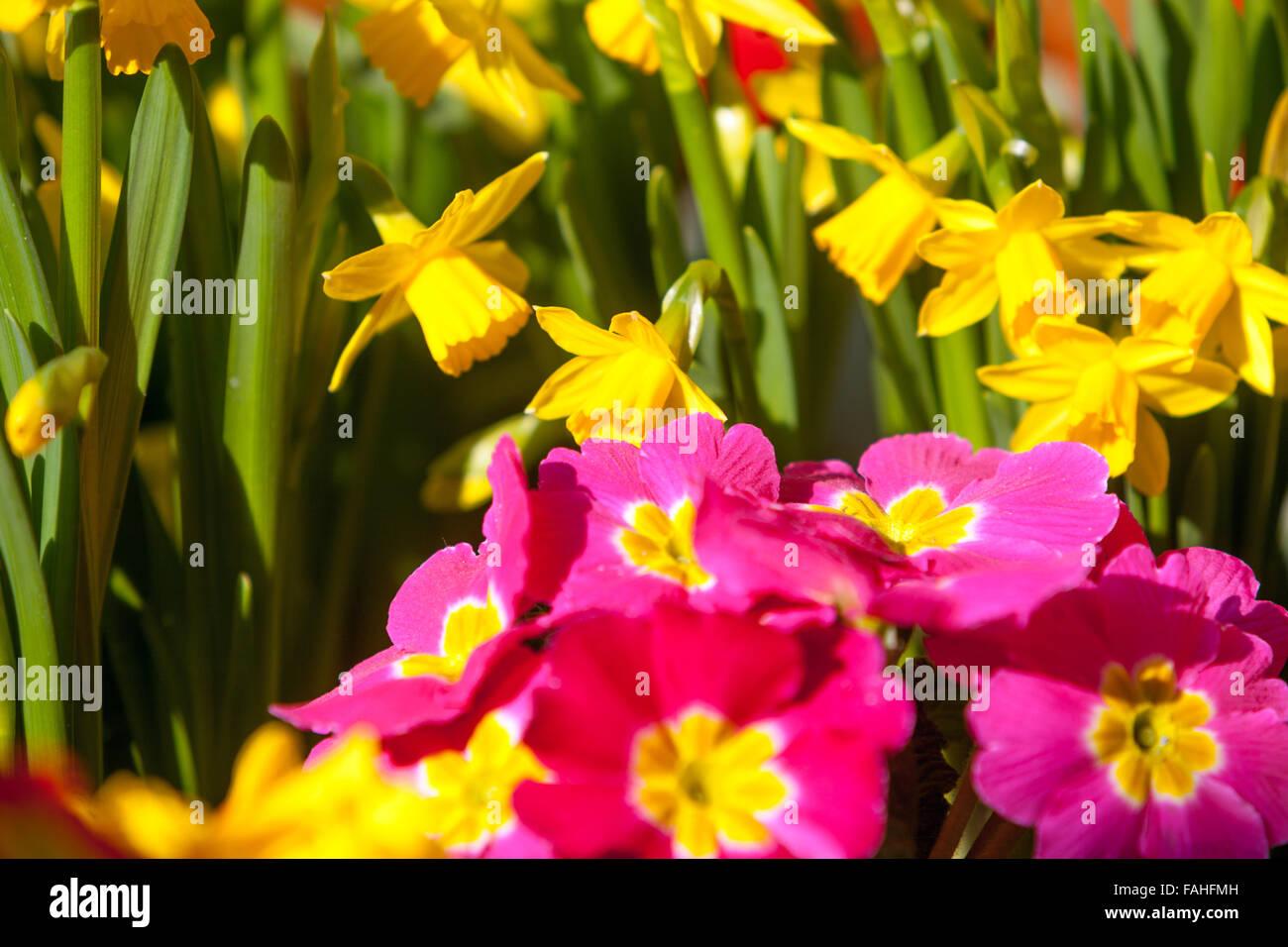 Spring Flowers Daffodils Primrose Stock Photo 92583921 Alamy