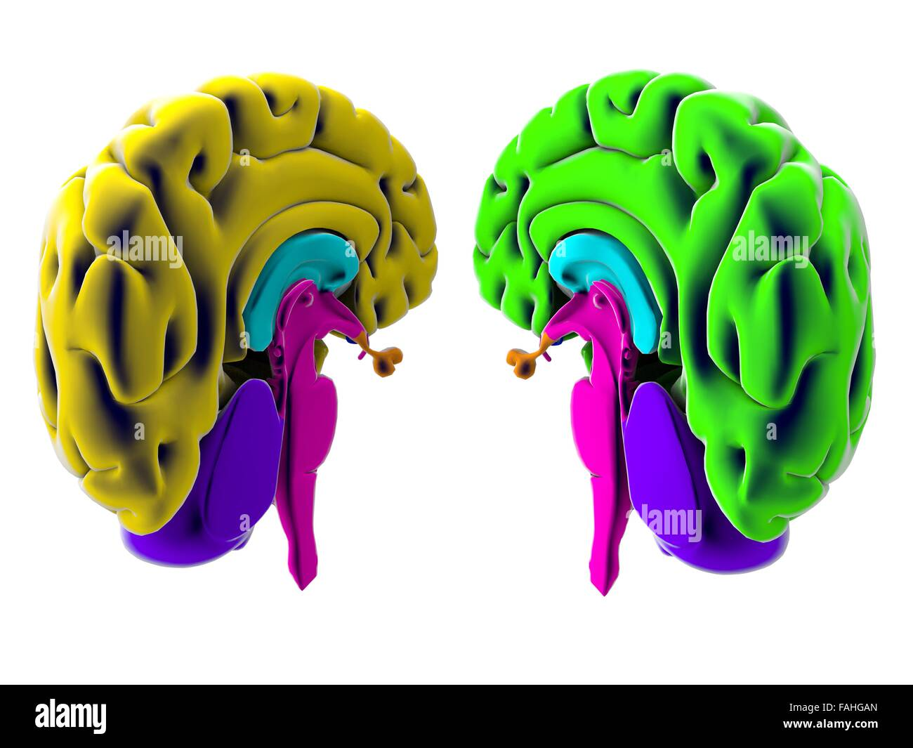 Brain, section, division, cutting parts, anatomy study Stock Photo ...