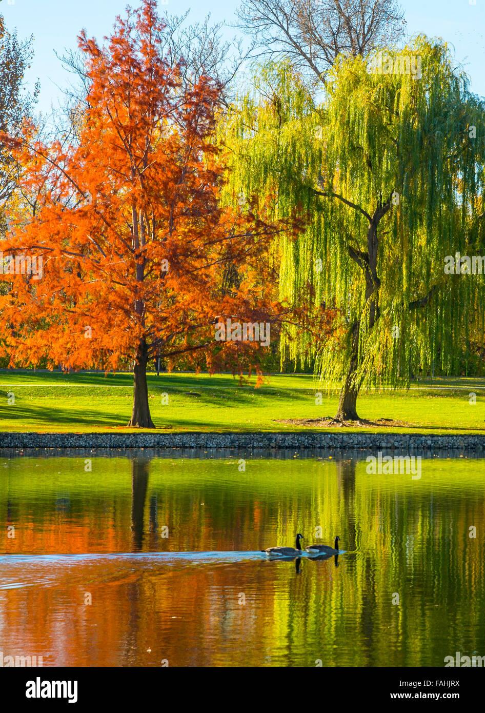 Canadian Geese swimming through Autumn water reflections. Julia Davis Park Pond. Boise River Greenbelt, Boise, Idaho, - Stock Image