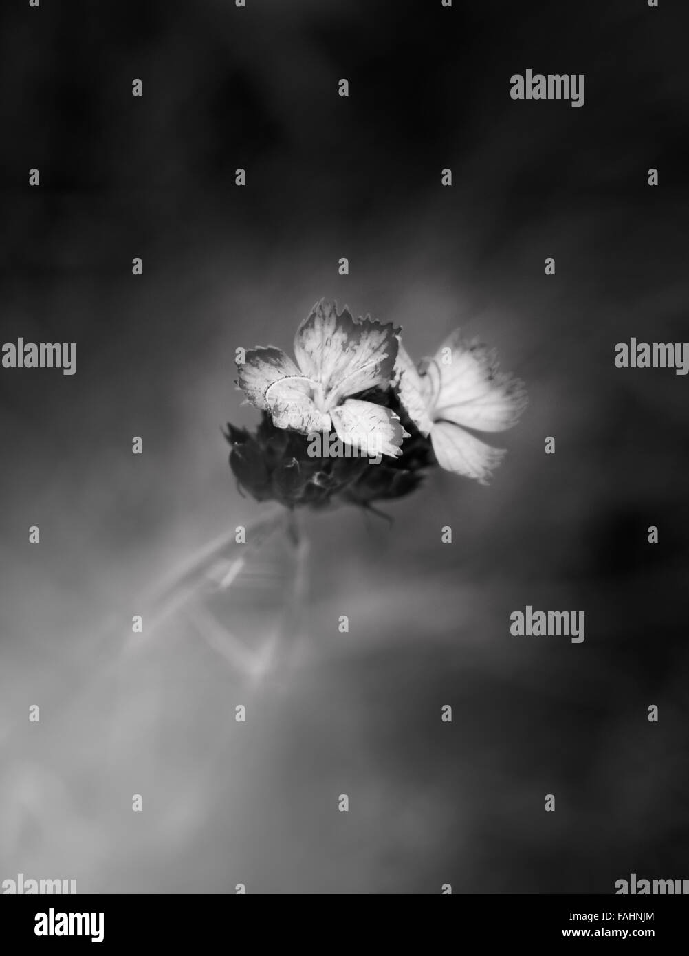 Small black and white flower with light effect - Stock Image