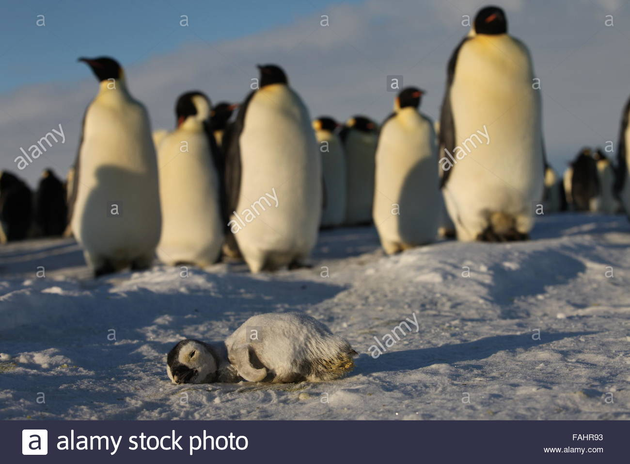 group of Emperor Penguins - Stock Image