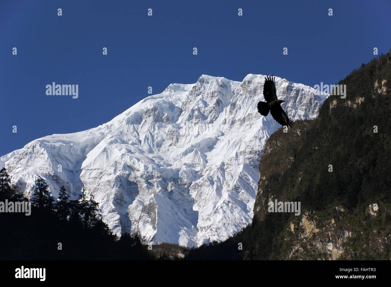 The Crow and Lamjung Himal - Stock Image