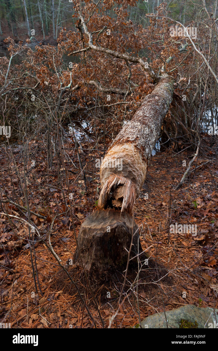 Tree downed by beaver along Echo Pond, in Rocky Woods Reservation, Medfield, Massachusetts, USA Stock Photo