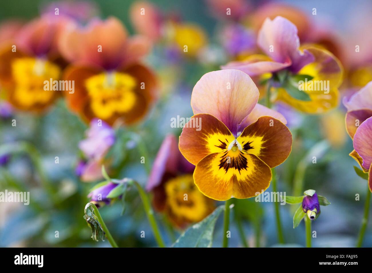 Viola deltini 'Honey Bee'. - Stock Image