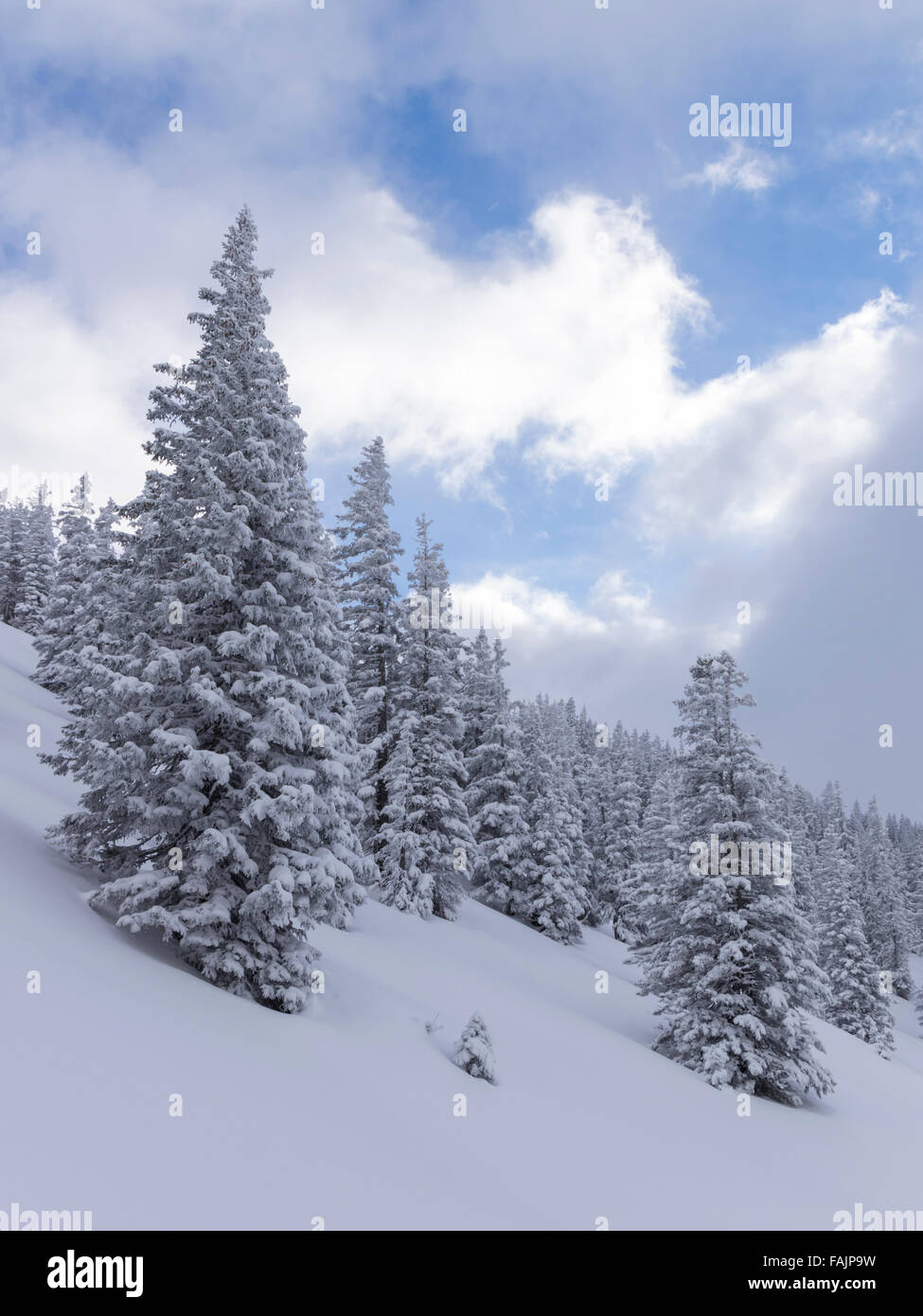 Snow-covered fir trees in a forest on a mountain slope in winter. Schächental, Canton of Uri, central Switzerland. - Stock Image