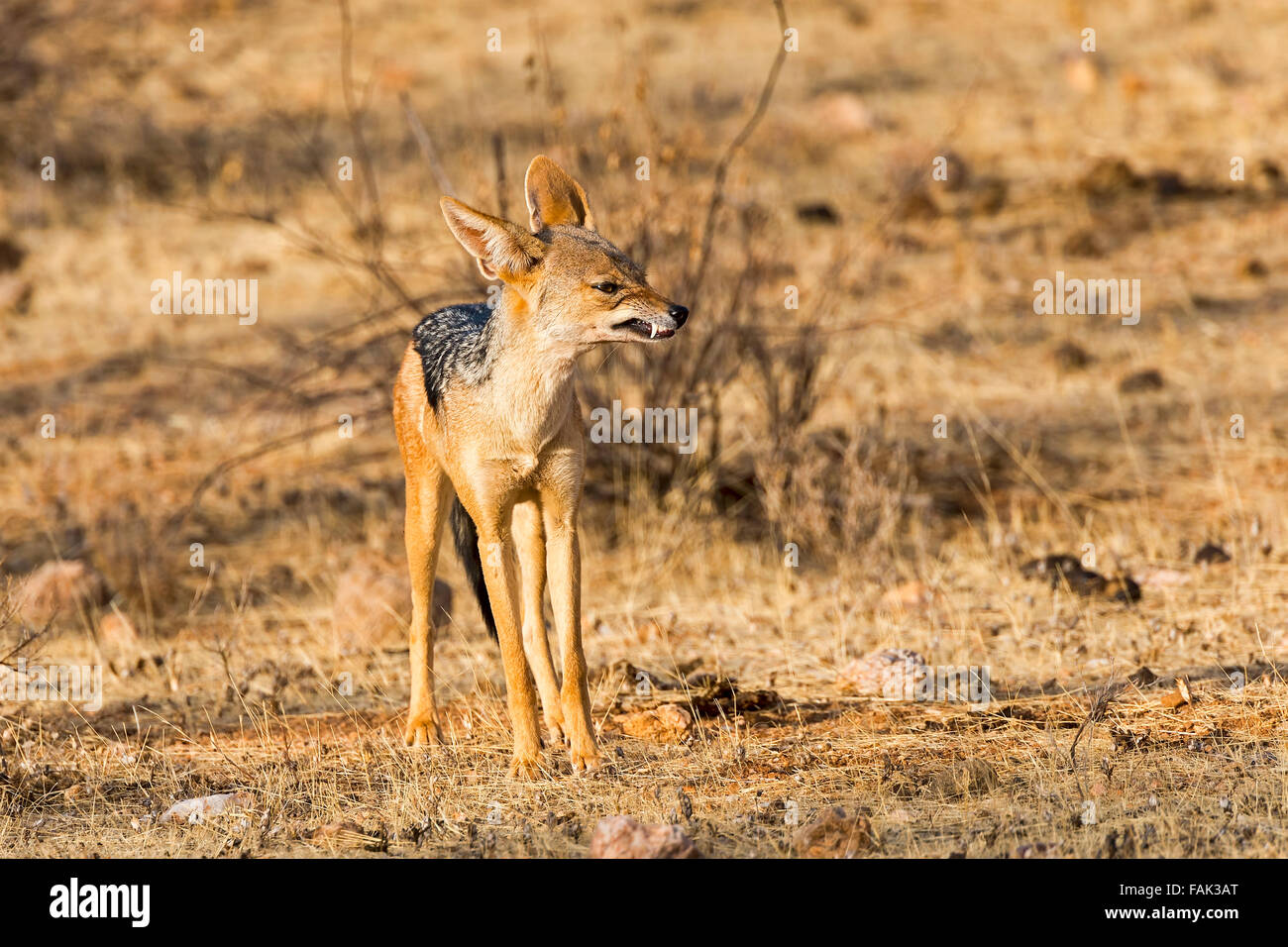 Black-backed jackal (Canis mesomelas) snarling, Samburu National Reserve, Kenya - Stock Image