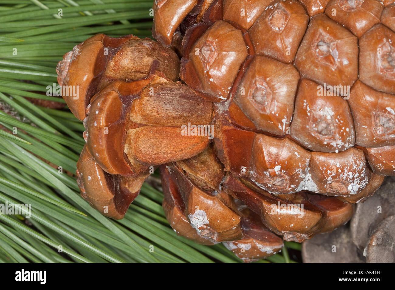 Stone Pine, Umbrella Pine, Pine nuts, seeds, Pine-nut, Pinienkern, Pinienkerne, Pinie, Schirmkiefer, Pinienzapfen, - Stock Image