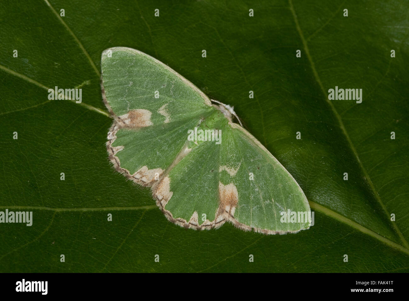 Blotched emerald, Pustelspanner, Eichenwald-Grünspanner, Comibaena bajularia, Comibaena pustulata, Euchloris - Stock Image