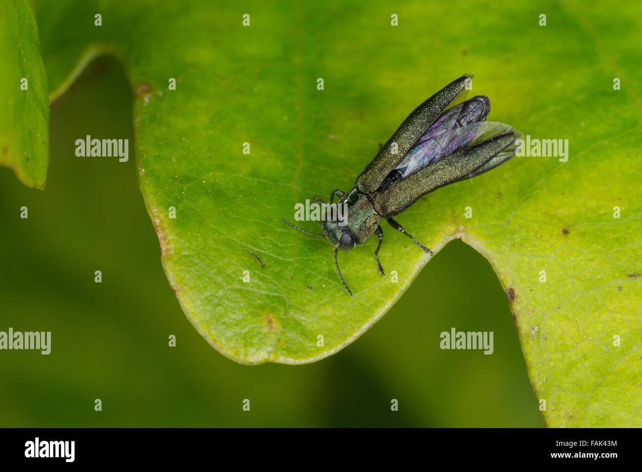 Jewel beetle, Buprestid, Prachtkäfer an Eiche, Agrilus spec. - Stock Image