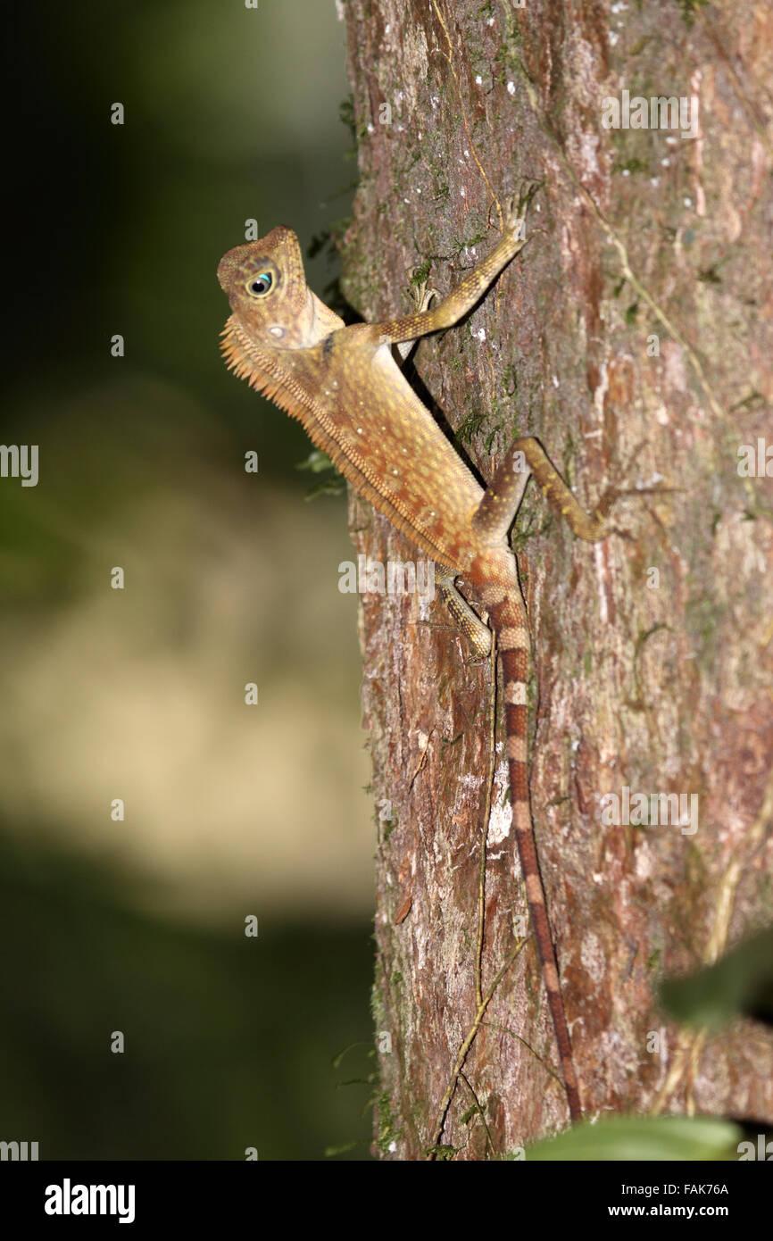 Bornean forest dragon in the Danum Valley Borneo - Stock Image