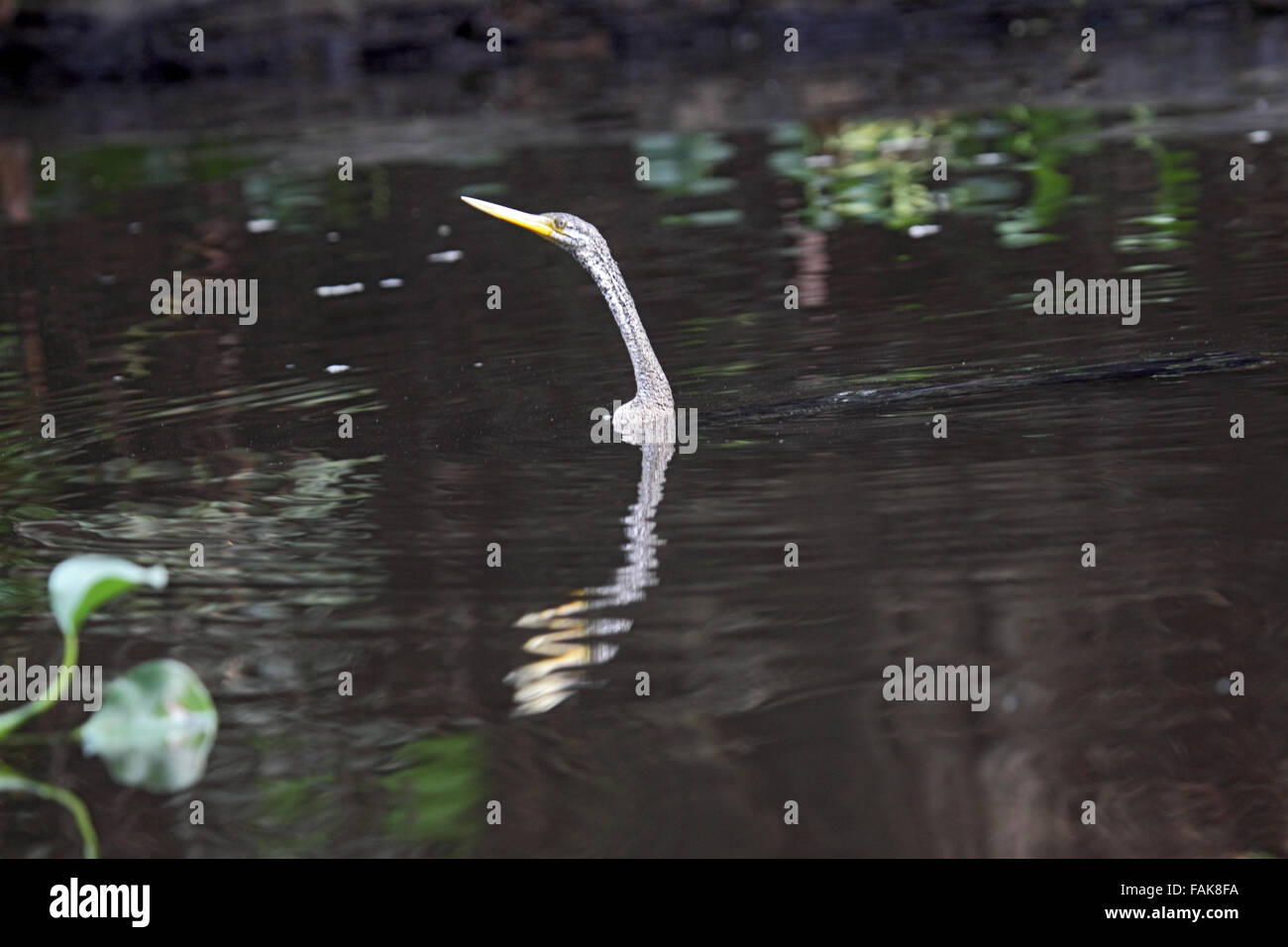Oriental darter swimming partly submerged in Sabah Borneo - Stock Image