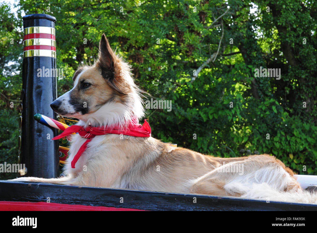 Dog wearing red neckerchief on the top of a barge.  The Tivertonian, Grand Western Canal. - Stock Image