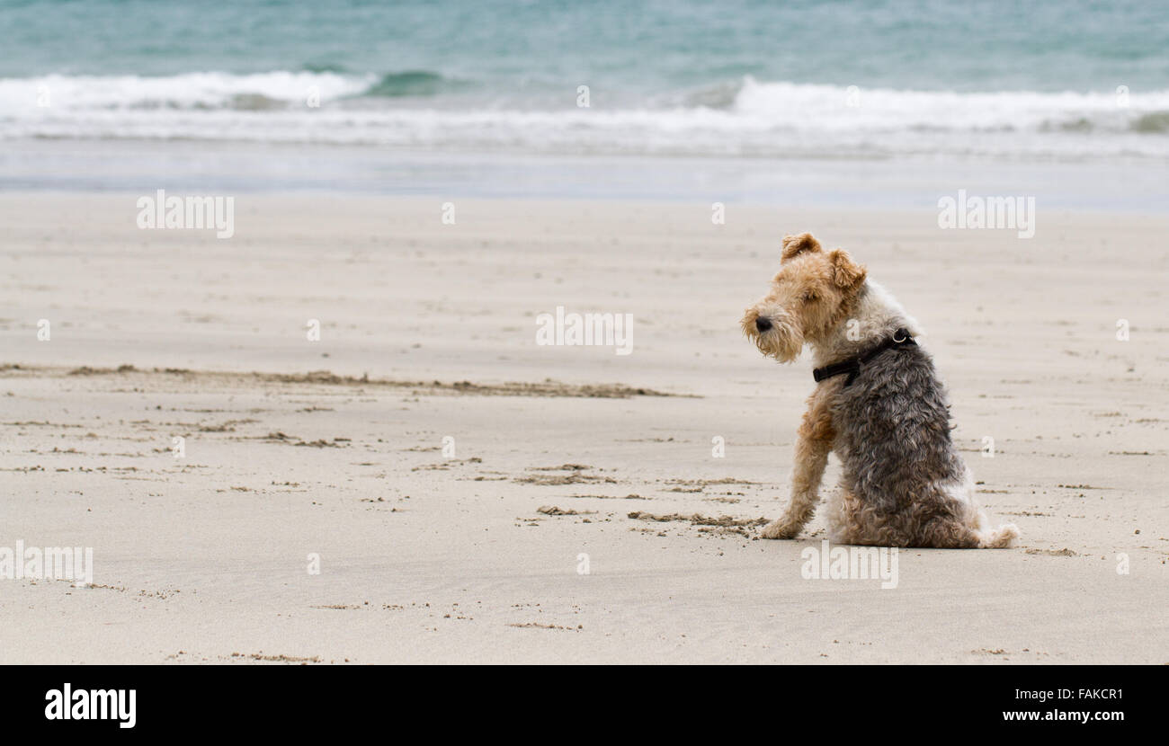 A Border Terrier dog sitting on an empty beach and curiously looking over his shoulder at the camera. - Stock Image