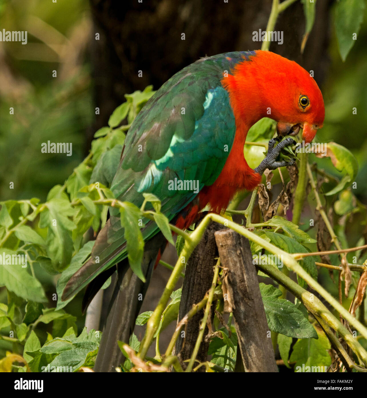 Spectacular vivid red and green male king parrot Alisterus scapularis eating green tomato in home garden in Australia - Stock Image