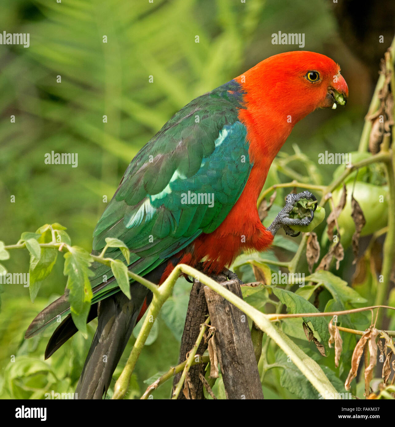 Spectacular vivid red and green male king parrot Alisterus scapularis on post eating green tomato in home garden - Stock Image