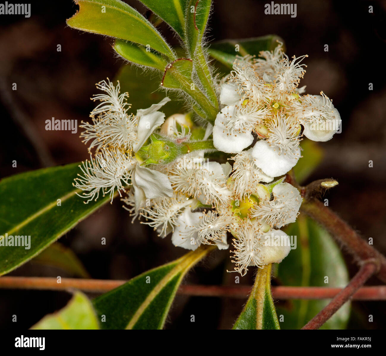 Cluster Of White Flowers Of Australian Native Tree