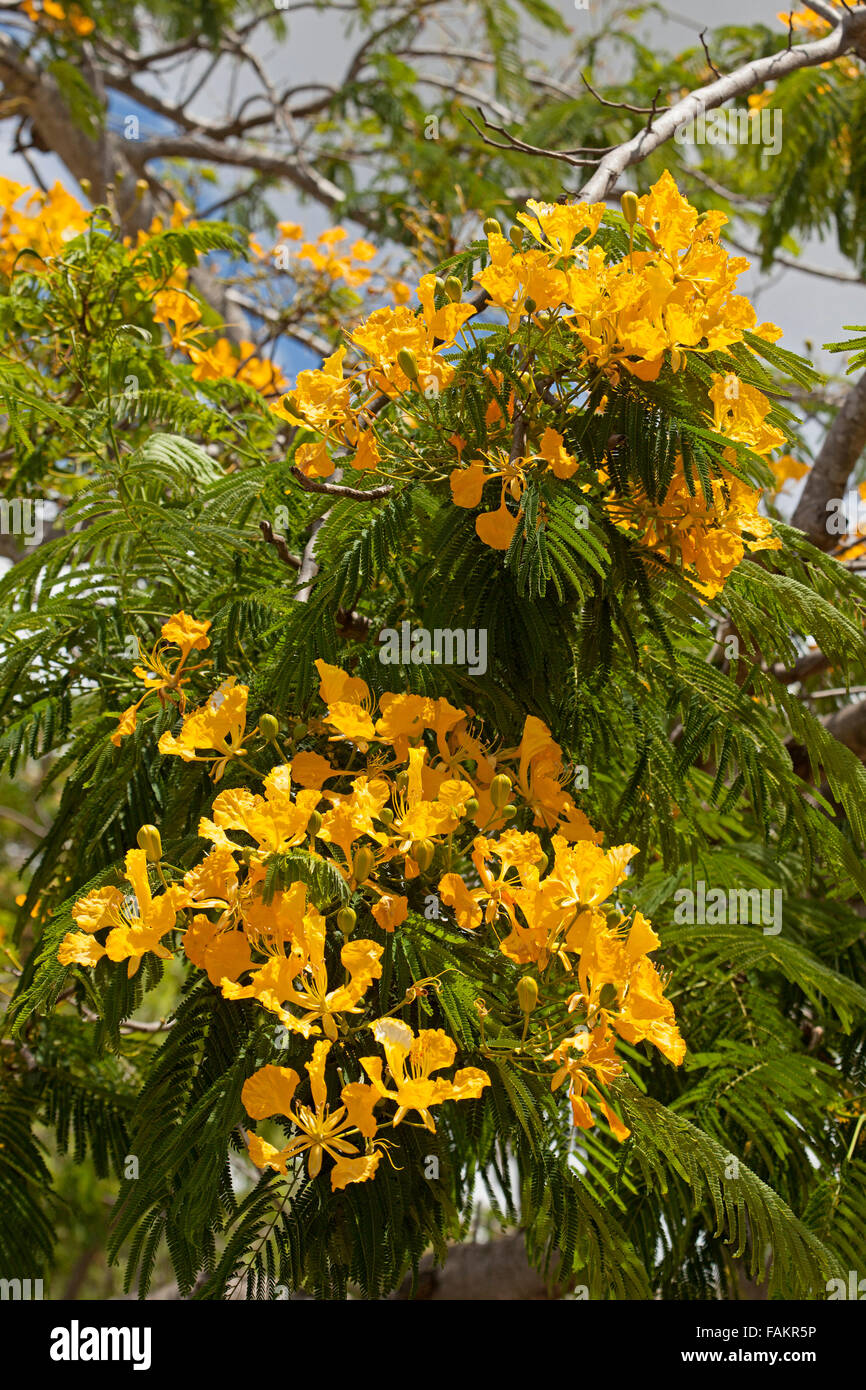 Clusters of vivid yellow flowers & green leaves of poinciana tree, Delonix regia var. flavida, rare variety - Stock Image