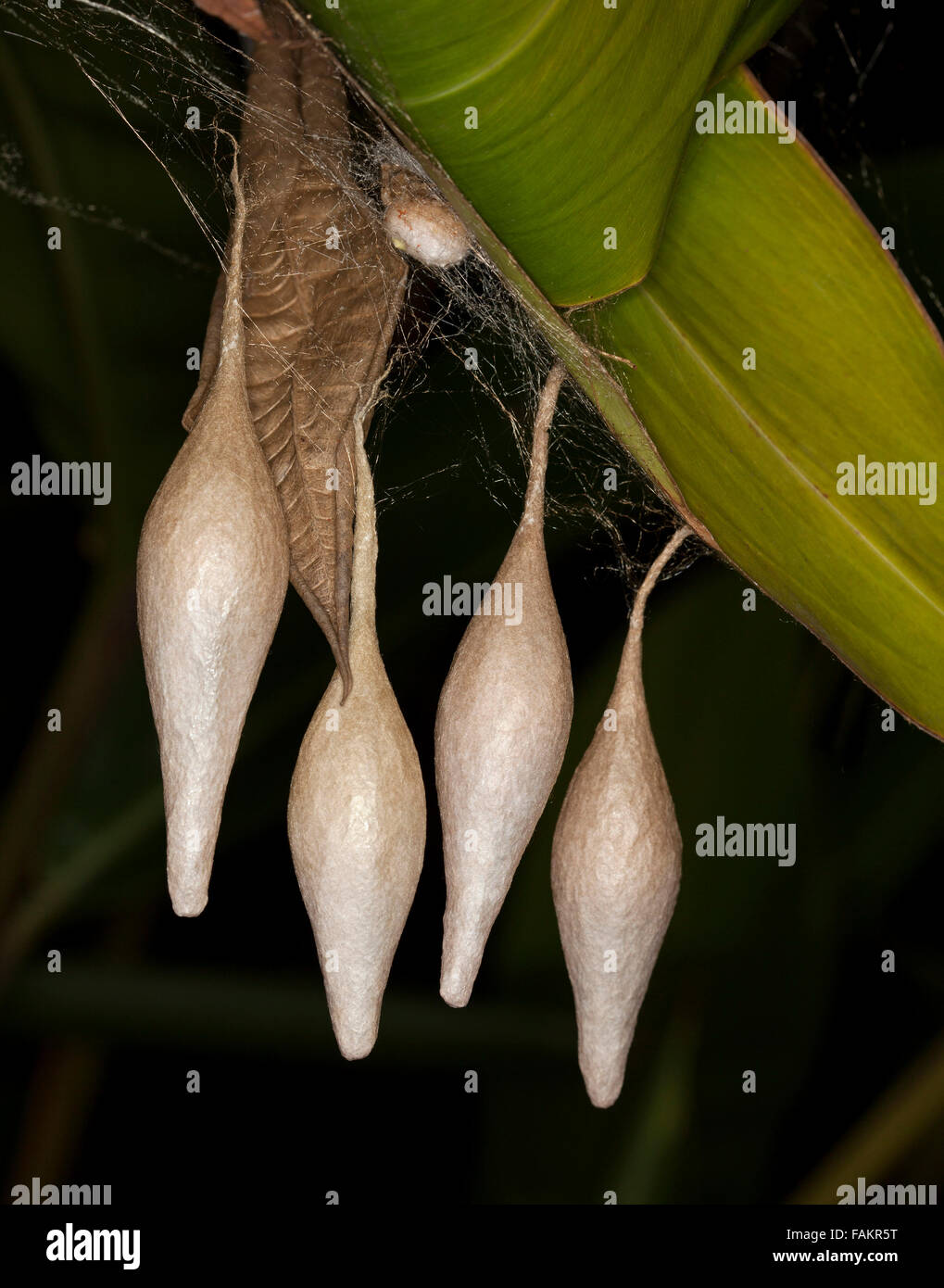 Unusual egg sacs of Ordgarius magnificus, Australian magnificent bolas spider, hanging from green leaf of plant - Stock Image