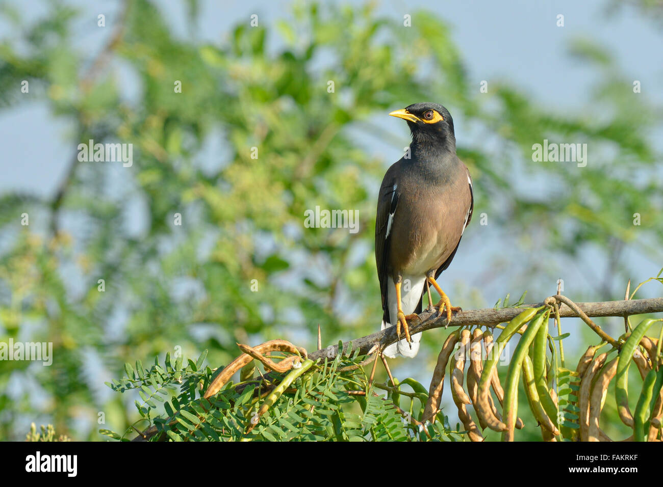 The common myna (Acridotheres tristis), sometimes spelled mynah. - Stock Image