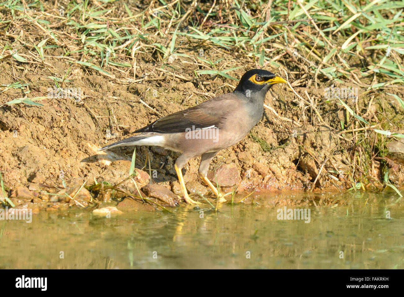 The common myna (Acridotheres tristis), sometimes spelled mynah, is a member of the family Sturnidae - Stock Image