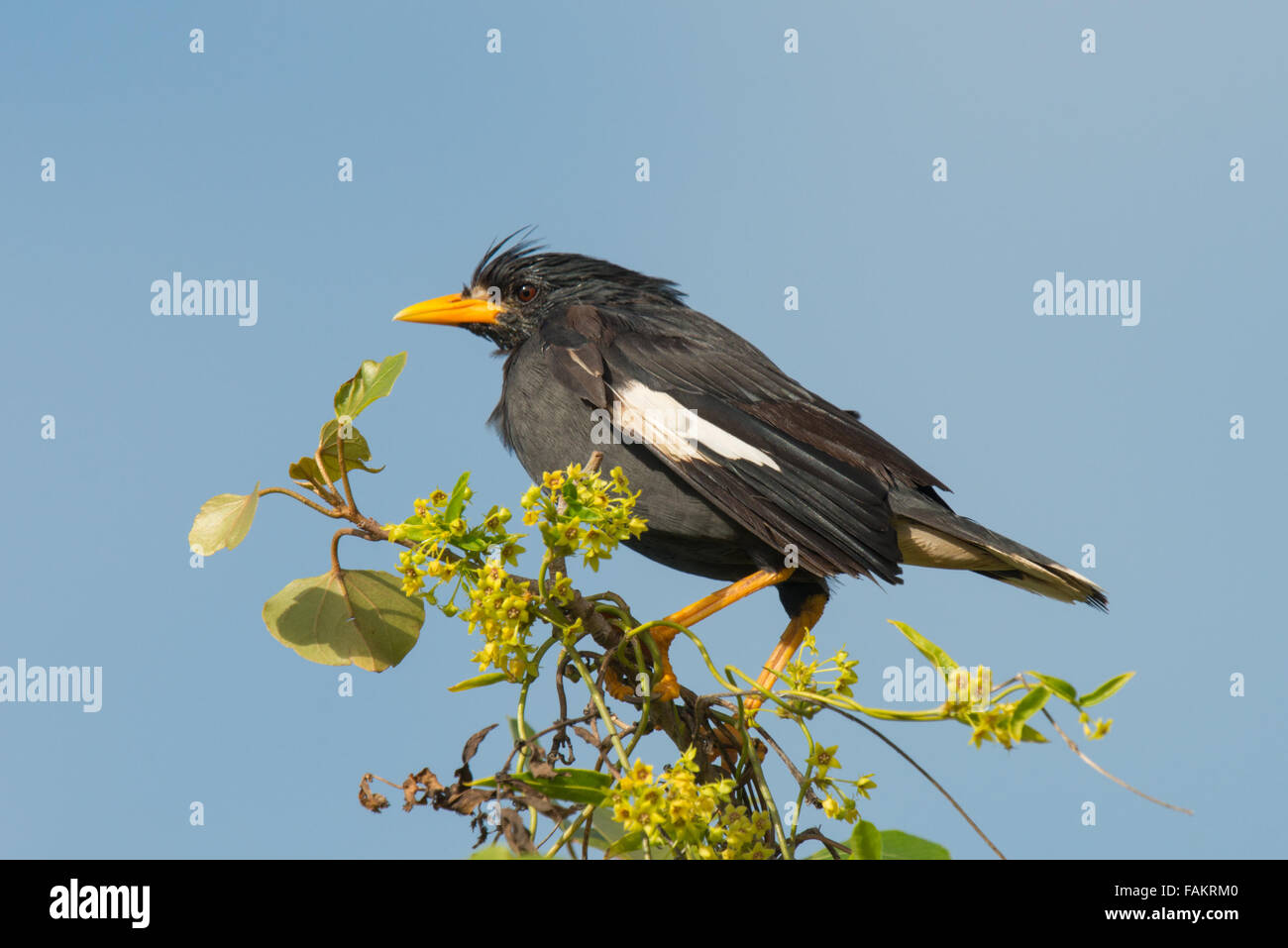 The great myna (Acridotheres grandis) is a species of starling in the Sturnidae family. - Stock Image