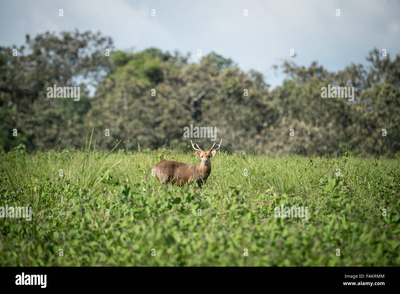 Once widespread and relatively abundant, the hog deer has suffered dramatic declines in Thailand. - Stock Image