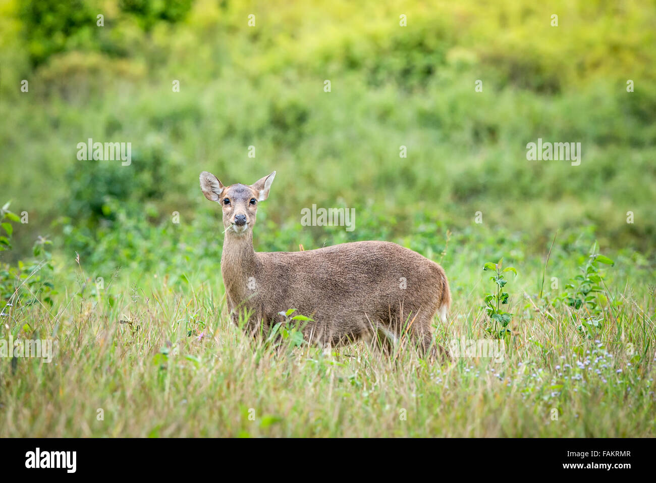 Once widespread and relatively abundant, the hog deer has suffered dramatic declines, and now survives as re-released - Stock Image