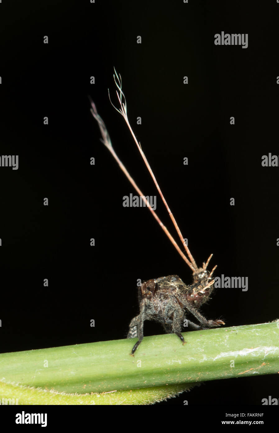 A planthopper nymph that uses appendages for protection - Stock Image